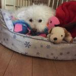 20191127腎不全で闘病中の家族のボロニーズ犬